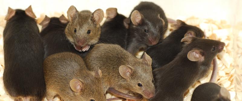 small_mice